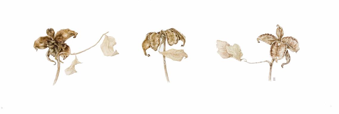 Peony seedpods