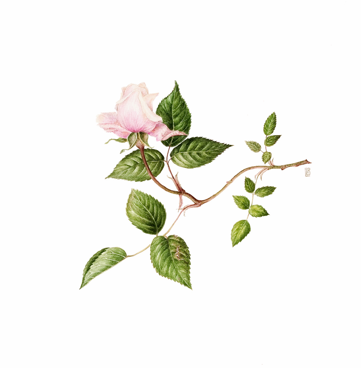 Rosa  'Mlle Franziska Krueger'