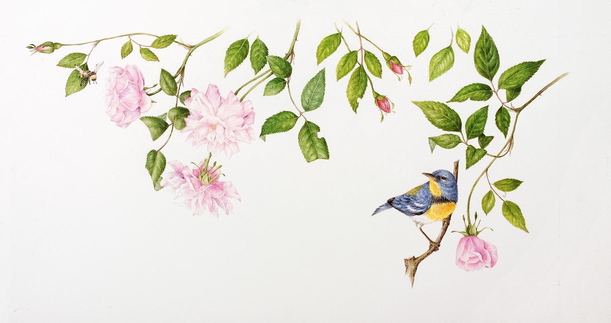 Rosa chinensis 'Old Blush' with Parula americana