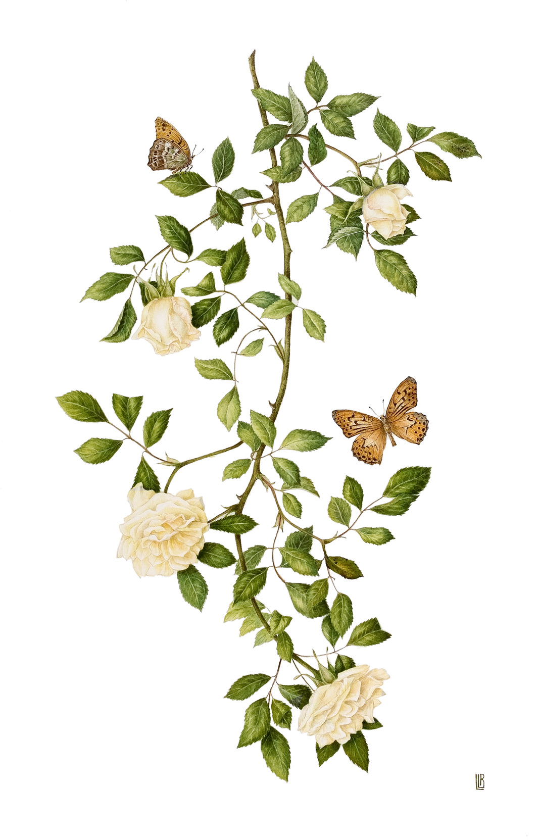 Rosa 'Park's Yellow Tea-scented China' with Argynnis paphia