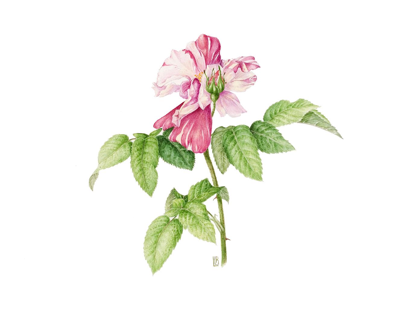 Rosa gallica 'Versicolor' ( Rosa Mundi)