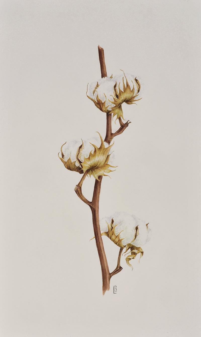 """""""Gossypium hirsutum"""" (cotton plant)"""