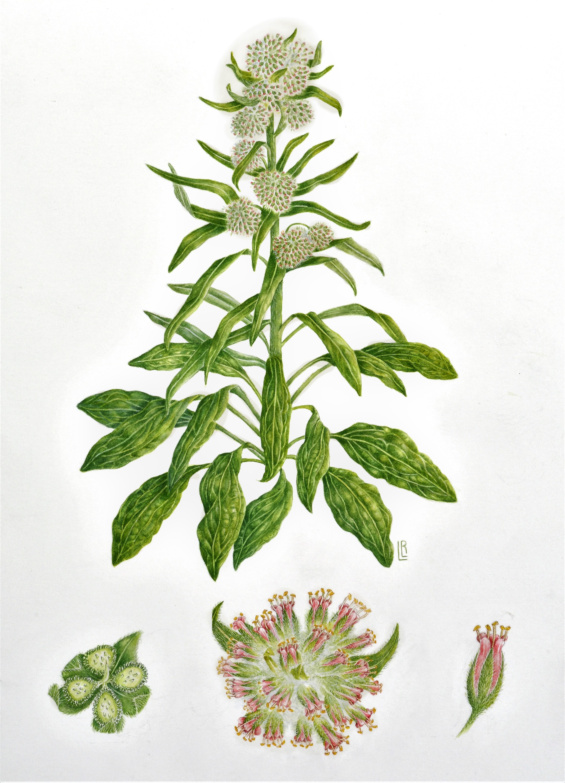 Solenanthus apenninus